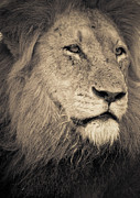 Lion's Head Print by LisaEryn
