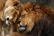 Wild Animals Posters - Lions in Love Poster by Emmanuel Panagiotakis