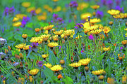 Colorful Dandelions Photos - Lions in the Grass by Karol  Livote