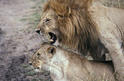 Masai Mara Prints - Lions Mating In The Masai Mara National Print by Jason Edwards