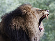 Roar Photos - Lions Roar by Brendan Reals
