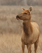 Tule Elk Photos - Lip Licking Tule Elk Merced County CA by Troy Montemayor