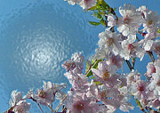 Cherry Blossoms Posters - Liquid Cherry Poster by Jen White