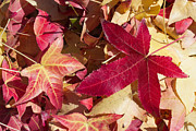Pink Gold Flora Posters - Liquidambar Autumn Poster by Heidi Smith
