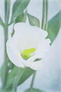 Decorativ Photo Metal Prints - Lisianthus Metal Print by Angela Doelling AD DESIGN Photo and PhotoArt