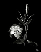 Flower Photos Posters - Lisianthus in Black and White Poster by Endre Balogh
