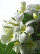 Plumeria Prints - Lit Softly Print by Kerri Ligatich