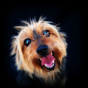 Portrait Of Dog Framed Prints - Little Australian Terrier Framed Print by Paula McManus