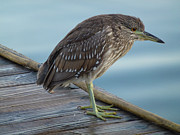 Great Blue Heron Black And White Posters - Little Baby Green Heron Poster by Jean Marshall