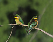 Kenya Photos - Little Bee-Eaters by Tony Beck