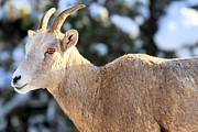 Big Horn Sheep Framed Prints - Little Big Horn Framed Print by Adam Jewell