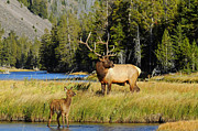 Bull Elk Posters - Little Big Man Poster by Sandy Sisti