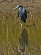 Earth Tones Metal Prints - Little Blue Heron Assateague Island Metal Print by Lara Ellis