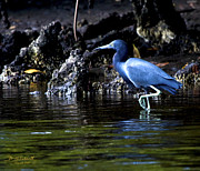 Fort Meyers Framed Prints - Little Blue Heron Framed Print by Bill Schaudt