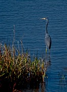 Gray Heron Posters - Little Blue Heron Poster by DigiArt Diaries by Vicky Browning