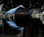 Fort Meyers Photos - Little Blue Heron Fishing by Bill Schaudt