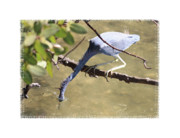 Little Bird Digital Art - Little Blue Heron Going for Fish with Framing by Carol Groenen