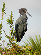 Grace Dillon - Little Blue Heron