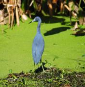 Christine Savino - Little Blue Heron In...