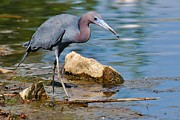 Heron Portrait Posters - Little Blue Heron Poster by Joy DiNardo Bradley         DiNardo Designs
