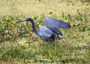 Florida Pond Prints - Little Blue Heron Walking in the Swamp Print by Carol Groenen