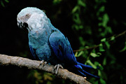 Critically Endangered Species Posters - Little Blue Macaw Cyanopsitta Spixii Poster by Claus Meyer