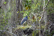 Florida Wildlife Photography Posters - Little Blue Nesting Poster by David Lee Thompson