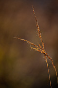 Prairie Dog Photo Originals - Little Bluestem on the Prairie by Steve Gadomski
