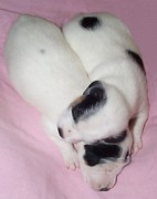 Black And White Jack Russell Terrier Puppies Photos - Little Brothers Asleep by Linda Parker