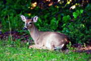 Whitetailed Deer Posters - Little Buck Poster by Lana Trussell