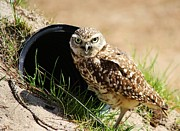Little Burrowing Owl Print by Paulette Thomas
