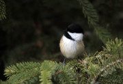 Chick Framed Prints - Little Chickadee Framed Print by Cathy  Beharriell