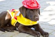Chocolate Lab Photos - Little Chief lab pup by Toni Hopper