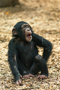 Cheeky Photo Framed Prints - Little Chimp Framed Print by Andrew  Michael
