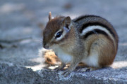 Cute Chipmunk Prints - Little Chipmunk Print by Cathy  Beharriell