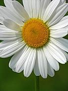 White Daisy Prints - Little Darling Print by Juergen Roth