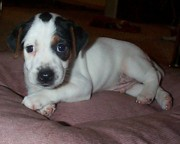 Black And White Jack Russell Terrier Puppies Photos - Little Diamond Black and White Eyed by Linda Parker