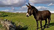 Donkey Digital Art Metal Prints - Little Donkey Metal Print by Louise Fahy