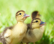 Mallard Ducklings Photos - Little Duck. by Kelly Nelson