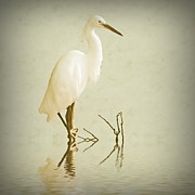 Stork Digital Art Posters - Little Egret 2 Poster by Sharon Lisa Clarke