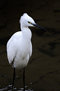 Egret Posters - Little Egret Poster by I