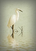 Stork Digital Art Posters - Little Egret Poster by Sharon Lisa Clarke