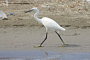Bulgaria Framed Prints - Little Egret Framed Print by Tony Murtagh
