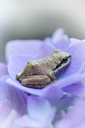 Purple Hydrangeas Prints - Little Frog on Hydrangea Flower Print by Jennie Marie Schell