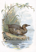 Bird Drawing Posters - Little Grebe, Historical Artwork Poster by Sheila Terry