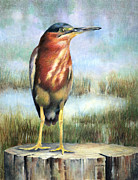 Waterfowl Drawings - Little Green Heron by Sherry Egger