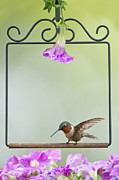 Petunias Framed Prints - Little Hummer Inspecting the Garden Framed Print by Bonnie Barry