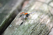 Jumping Spiders Prints - Little Jumper Print by JD Grimes