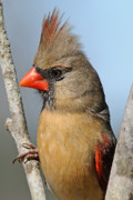 Female Northern Cardinal Photos - Little Lady Cardinal by Bonnie Barry