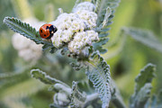 Ladybeetle Photos - Little Lady by Heidi Smith